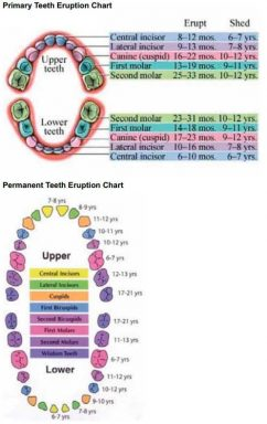Tooth eruption charts