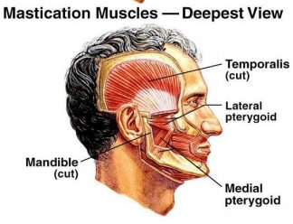 Mastication muscles - deepest view